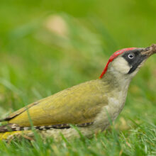 European green woodpecker sitting in a green meadow
